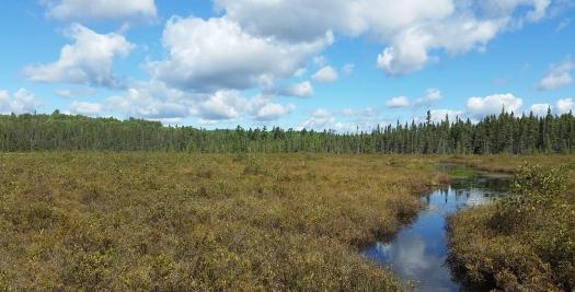 Spruce bog
